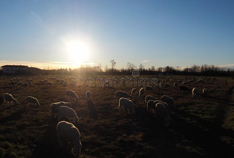 Troep van schapen bij de zonsondergang royalty-vrije stock foto's