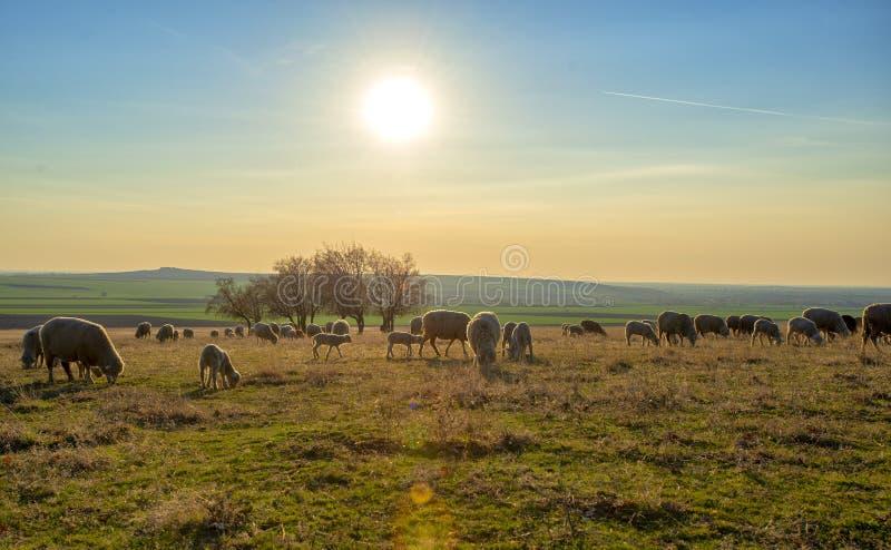 Troep van schapen bij zonsondergang in de lentetijd royalty-vrije stock afbeelding