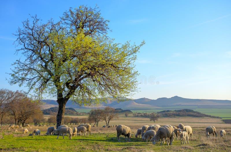 Troep van schapen bij zonsondergang in de lentetijd royalty-vrije stock fotografie