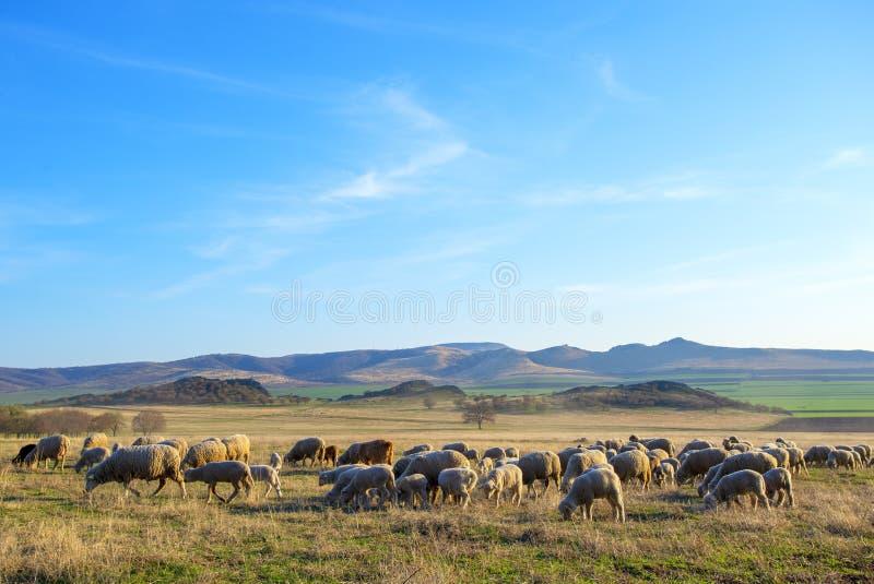Troep van schapen bij zonsondergang in sprintime royalty-vrije stock afbeeldingen