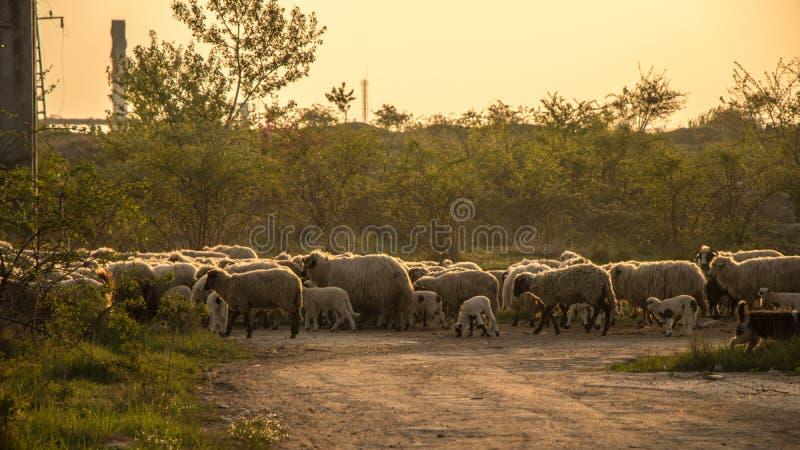 Troep van schapen binnen stock foto's