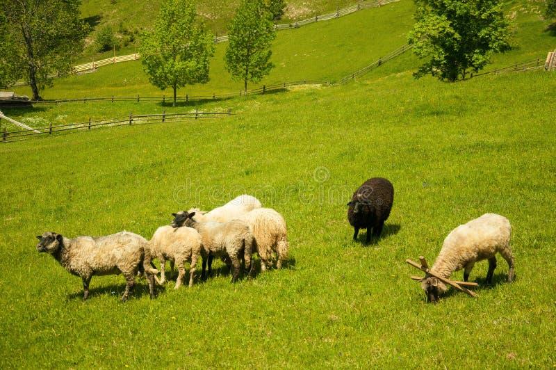 Troep van schapen in de Karpaten Van het de Levensstijlconcept van de wandelingsreis mooi de bergenlandschap op achtergrond royalty-vrije stock foto's