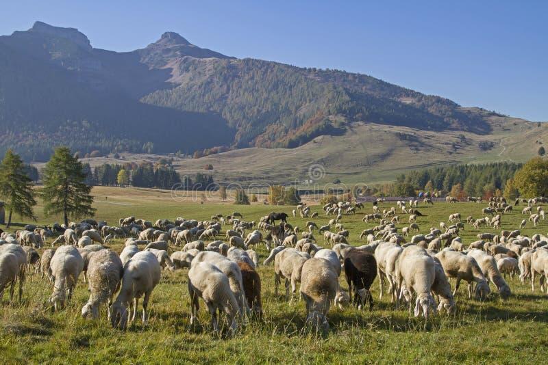 Troep van schapen in de Monte Bondone-bergen royalty-vrije stock fotografie