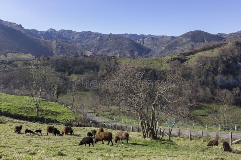Troep van schapen die in de groene weiden van Asturias weiden stock afbeelding
