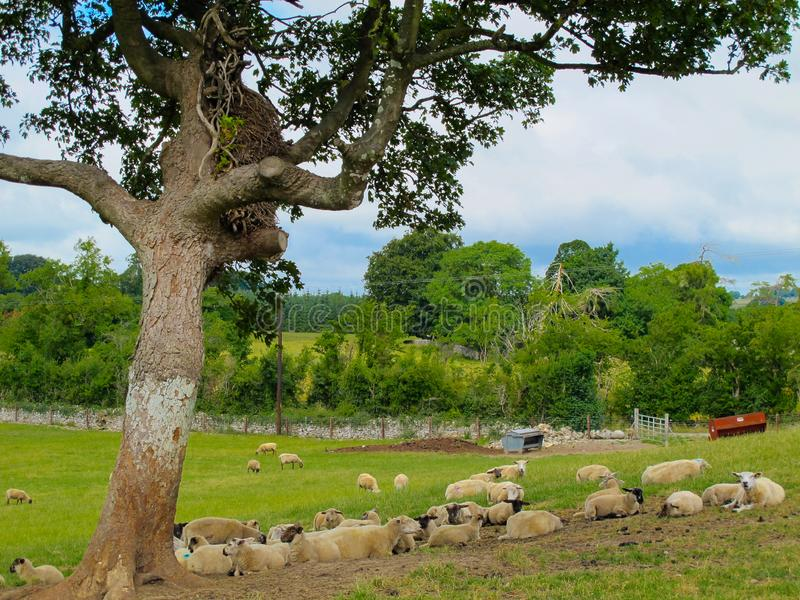 Troep van schapen die onder een boom voor schaduw rusten royalty-vrije stock foto's