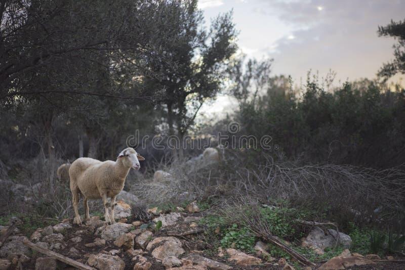Troep van Schapen die op de Herder wachten royalty-vrije stock foto's