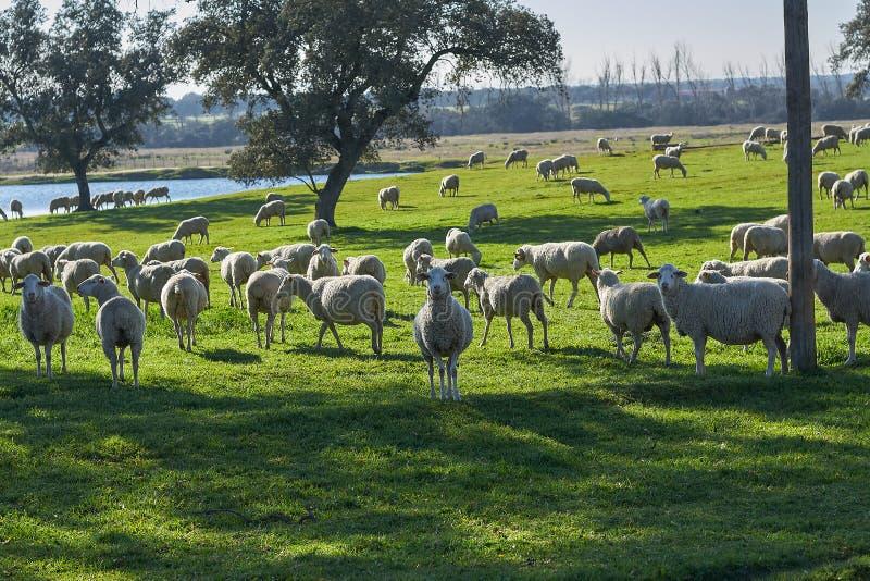 Troep van schapen die op het groene gebied met holm eiken en een meer, op een zonnige dag weiden stock fotografie