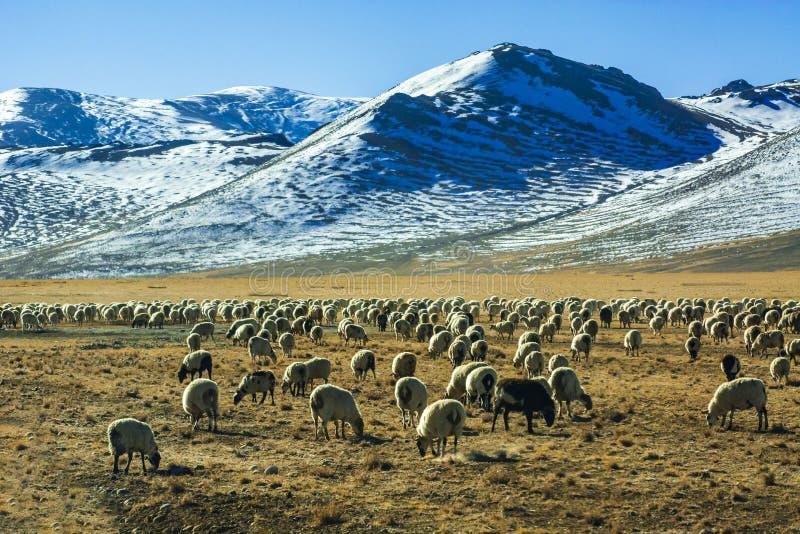 Troep van schapen door de sneeuwbergen