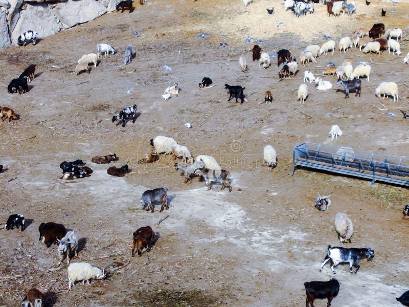 troep van schapen door geiten bergop worden geleid die stock fotografie