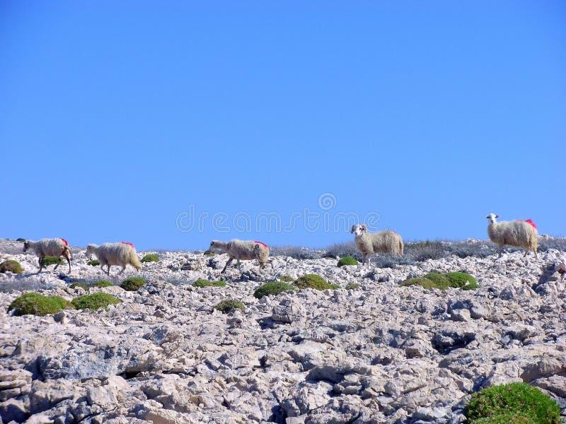 Troep van schapen in eiland Pag, Dalmatië, Kroatië stock afbeeldingen