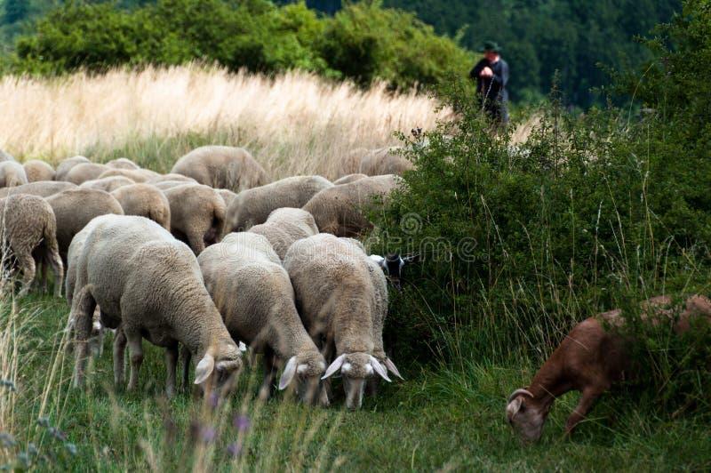 Troep van schapen en geiten royalty-vrije stock foto's