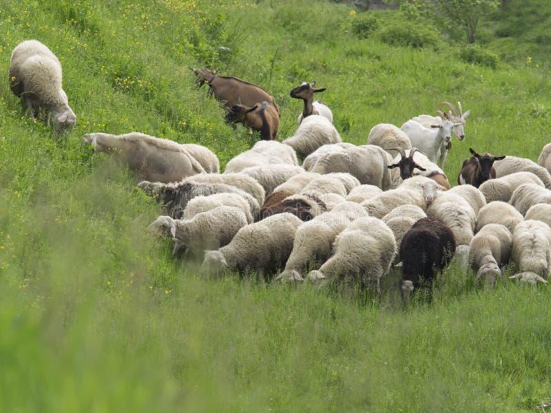 Troep van schapen en geiten die weelderig de lentegras weiden stock fotografie