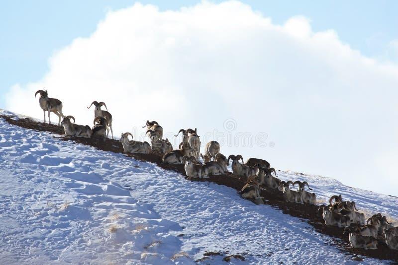 Troep van schapen Marco Polo op vakantie Marco Polo op de helling stock fotografie
