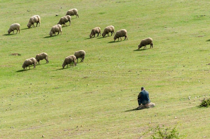 Troep van schapen met herder stock fotografie