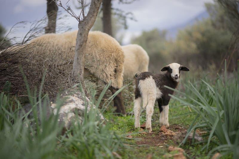 Troep van schapen met lammeren royalty-vrije stock foto's