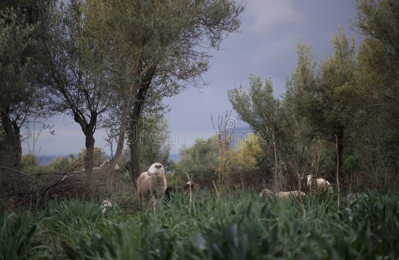 Troep van schapen met lammeren stock fotografie