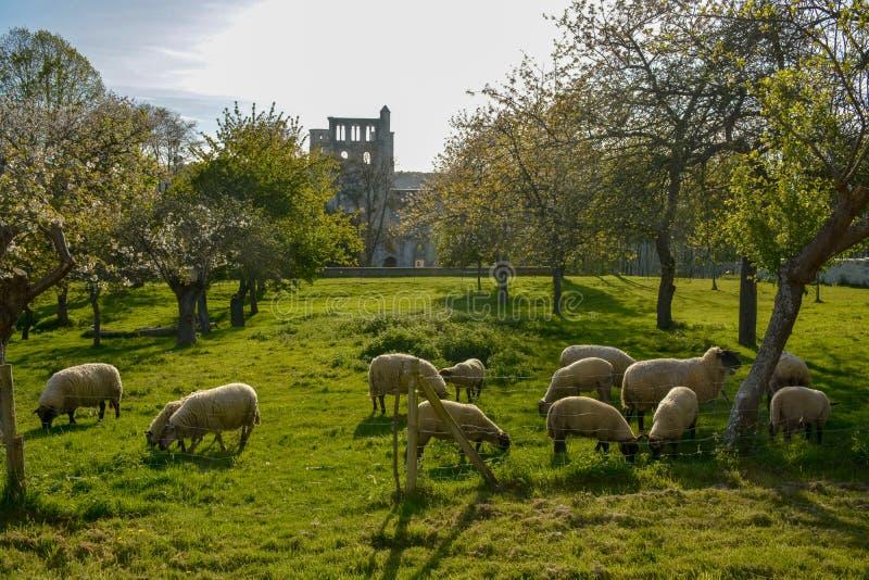 Troep van schapen met lammeren in de lentetuin op jong groen gras royalty-vrije stock foto