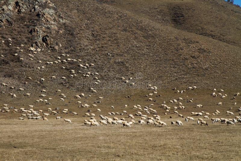Troep van schapen op de heuvel royalty-vrije stock foto's