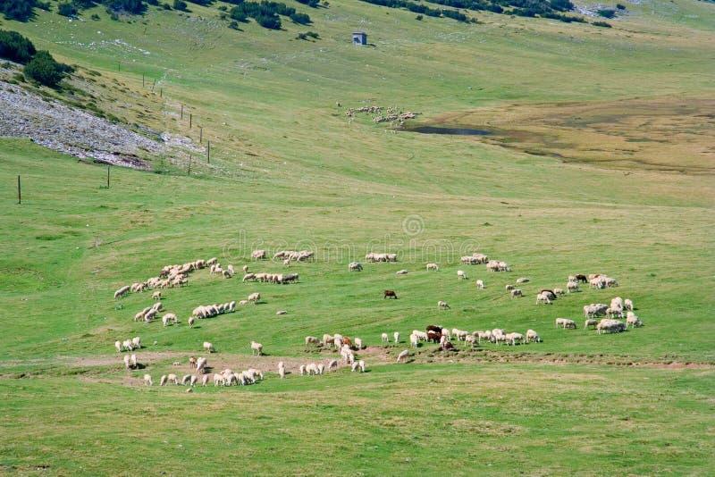 Troep van schapen op een landbouwbedrijf stock foto's