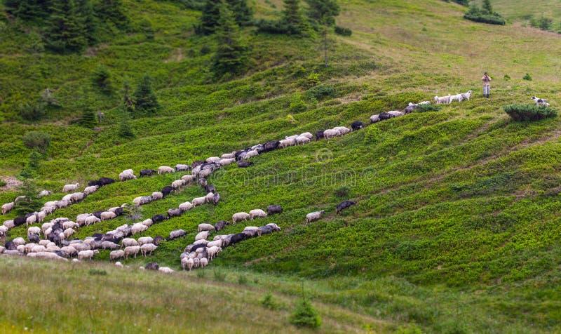 Troep van schapen op groen gras stock afbeeldingen