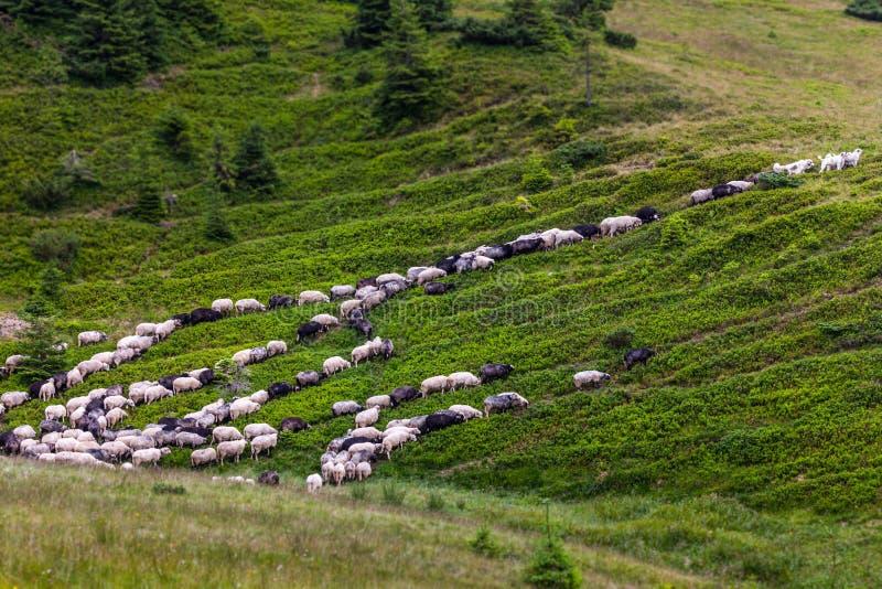 Troep van schapen op groen gras stock afbeelding