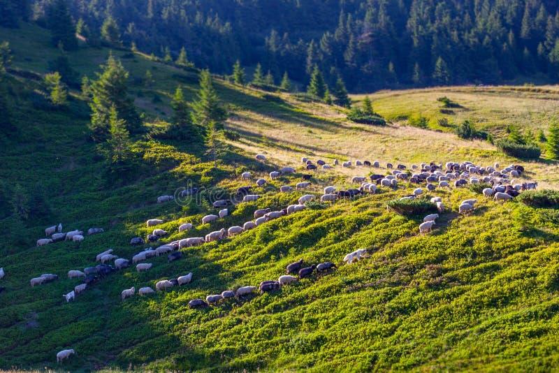 Troep van schapen op groen gras royalty-vrije stock foto
