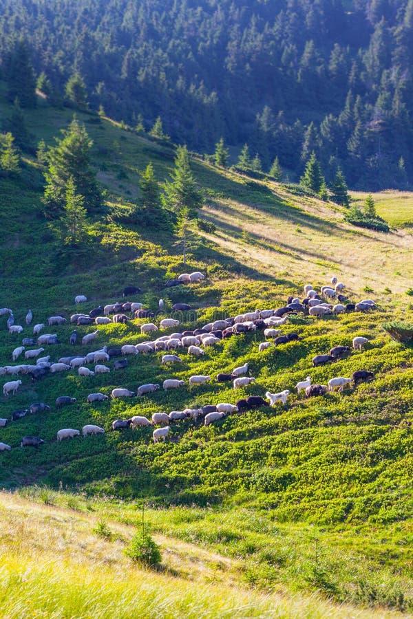 Troep van schapen op groen gras royalty-vrije stock afbeelding