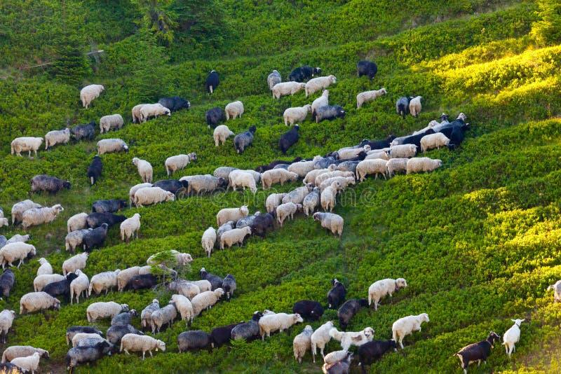 Troep van schapen op groen gras stock foto