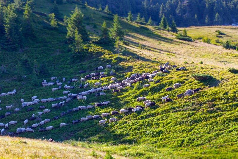 Troep van schapen op groen gras royalty-vrije stock afbeeldingen