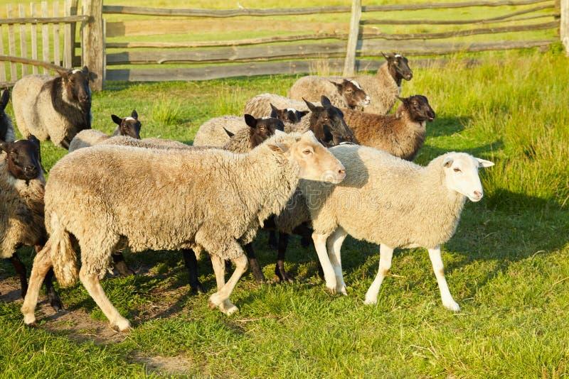 Troep van schapen op groen gras op weiland Kudde van schapen op groene weide stock afbeelding