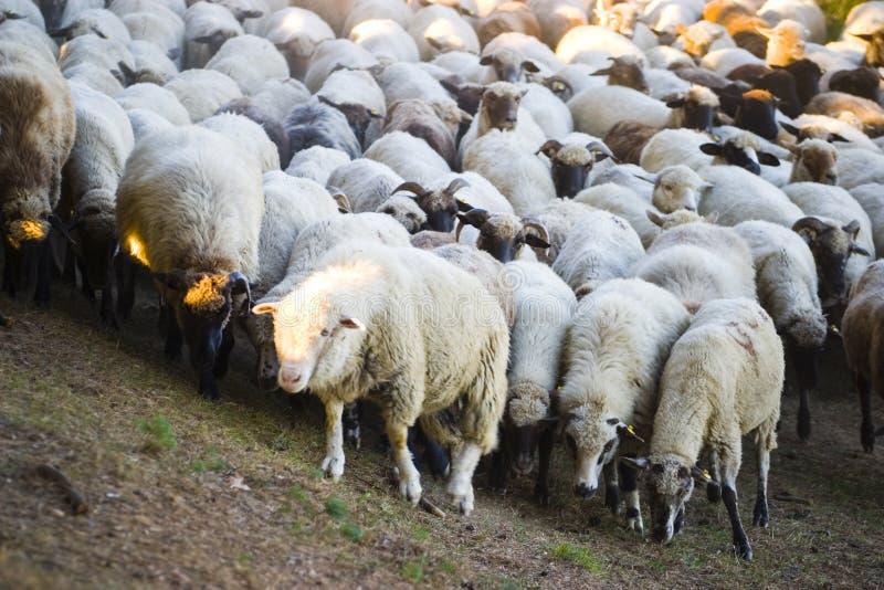Troep van schapen op helling royalty-vrije stock fotografie