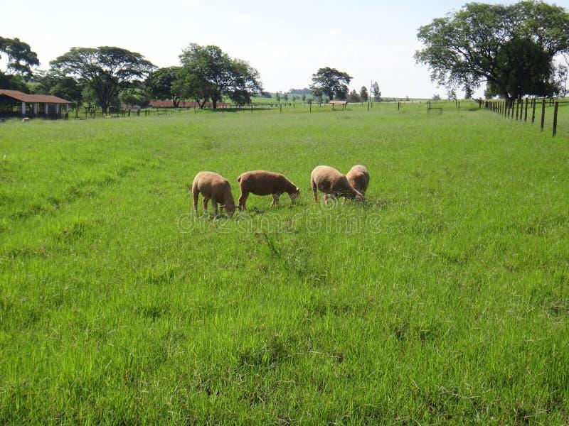 Troep van schapen op het gebied stock afbeelding
