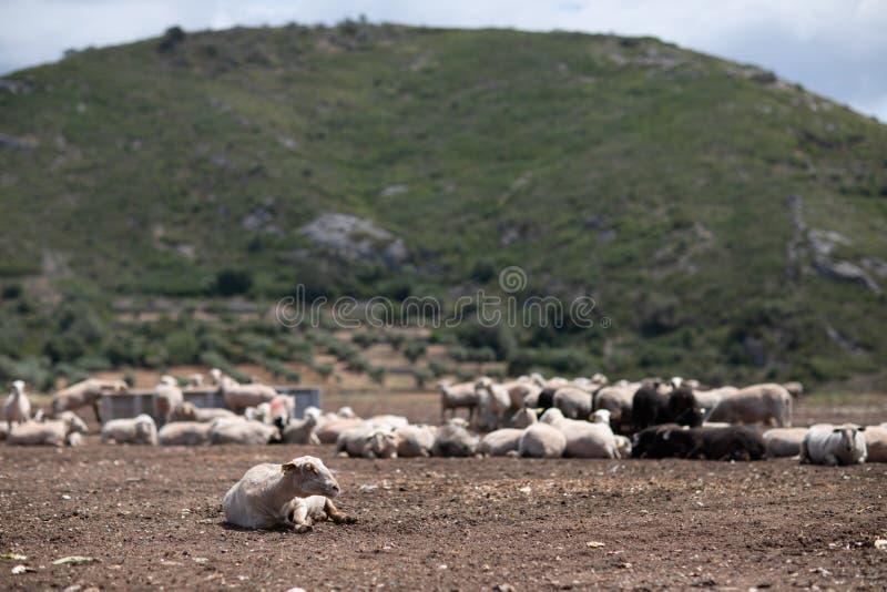 Troep van schapen op het gebied stock foto's