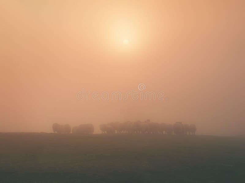 Troep van schapen op ochtend royalty-vrije stock fotografie