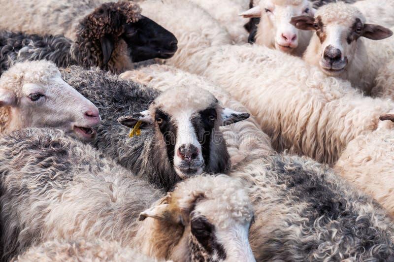 Troep van schapentextuur royalty-vrije stock foto's
