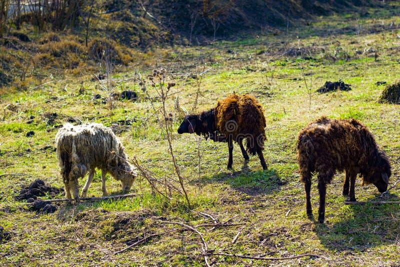 Troep van schapenvoer op groen gras stock afbeeldingen