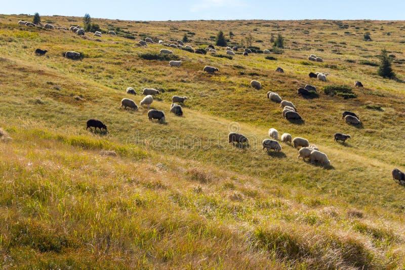 Troep van sheeps die op de zomerheuvels weiden Weilandachtergrond Kudde van lammeren op Karpatische bergen Landelijk landschap royalty-vrije stock afbeelding
