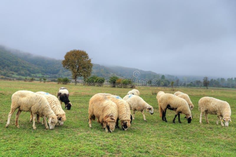 Troep van sheeps in een weide op groen gras stock foto's