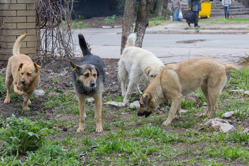 Troep van verdwaalde dakloze honden royalty-vrije stock foto
