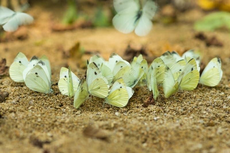 Troep van vlinders - koolwitje of koolwitjelatijn Pierisbrassicae op de banken van de rivier Kisina stock afbeeldingen