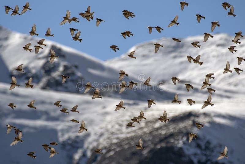 Troep van vogels die bij Zonsopgang vliegen - mooie kleuren in hemel stock afbeelding