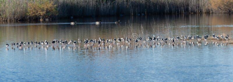 Troep van vogels die in lagune van het Natuurreservaat van Albufera, in Valencia, Spanje rusten Natuurlijke achtergrond stock afbeelding