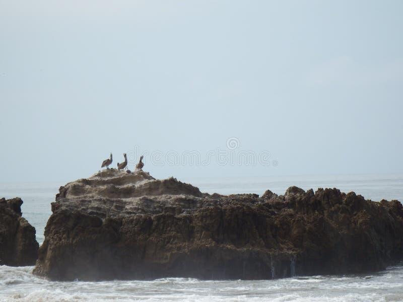 Troep van vogelsrust op Oceaanrots stock afbeelding