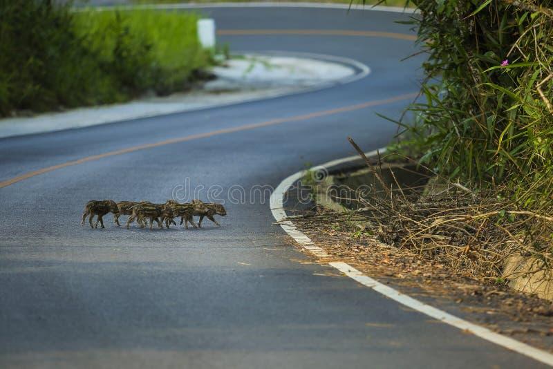 Troep van weinig everzwijn die weg in het nationale pari van khaoyai kruisen stock foto