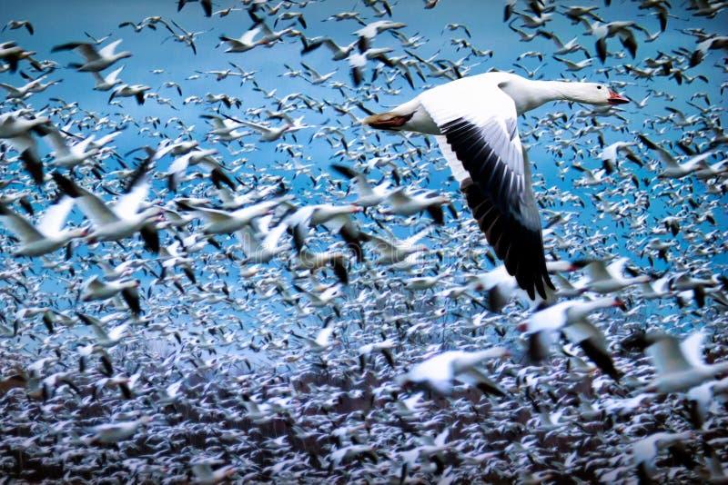 Troep van witte ganzen die tijdens migratie vliegen royalty-vrije stock foto