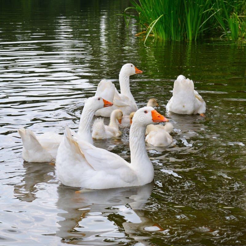 troep van witte ganzenvlotters in het meerwater stock fotografie