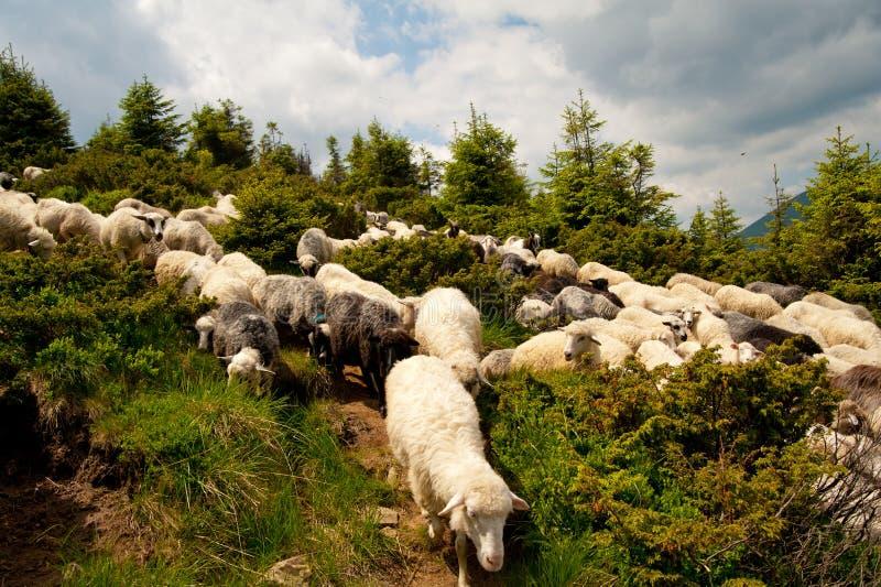 Troep van witte schapen stock foto's