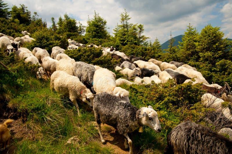 Troep van witte schapen stock fotografie