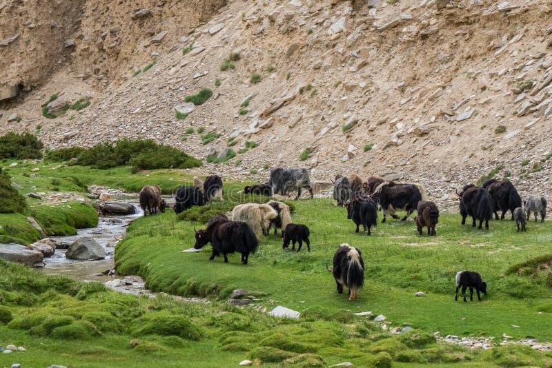 Troep van yaks in Ladakh, India royalty-vrije stock afbeeldingen
