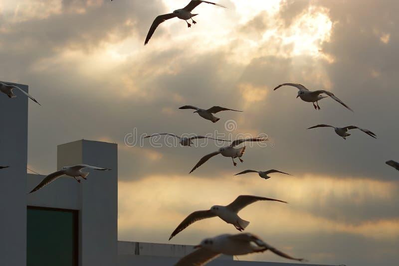 Troep van zeemeeuwen die op schemeringhemel vliegen tussen zonsondergang Hoop dierlijk concept Selectieve nadruk en ondiepe diept royalty-vrije stock afbeeldingen